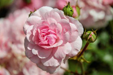 rose-1610932_1280