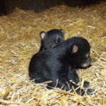 V Olomoucké ZOO se narodili malí medvědi