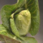 Dieta s kysaným zelím