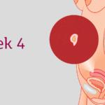 4 týden těhotenství